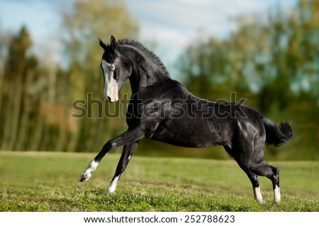 black akhal-teke young stallion run gallop - stock photo