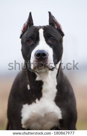 black american staffordshire terrier dog - stock photo