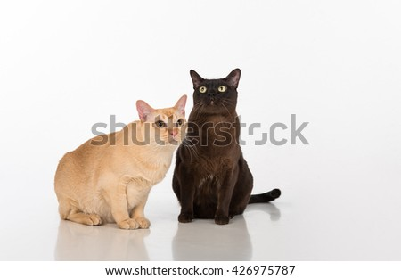 Black and Bright Brown Burmese cats Couple. White background with reflection. - stock photo