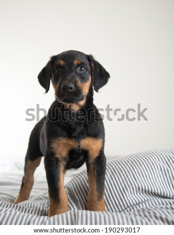 Black and Brown Puppy Sitting on Bed with Striped Sheets - stock photo