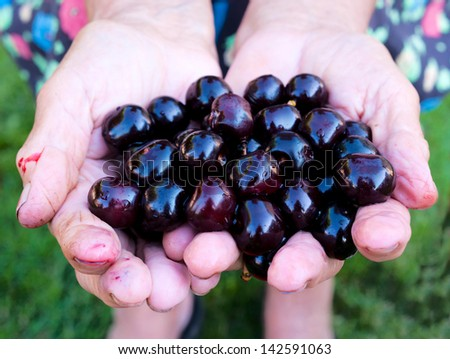 Black and organic cherries in the old female hands - stock photo