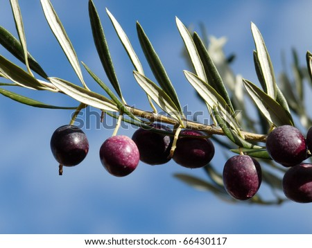 Black and purple olives on the olive tree ready to harvest in Provence, France. - stock photo