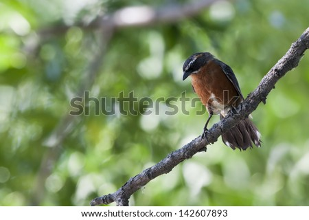 Black-and-rufous Warbling-Finch (Poospiza nigrorufa nigrorufa), Black-and-rufous subspecies, at the Buenos Aires Ecological Reserve in Buenos Aires, Argentina. - stock photo