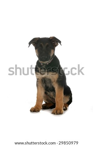 black and tan colored German Shepherd puppy sitting on white background - stock photo