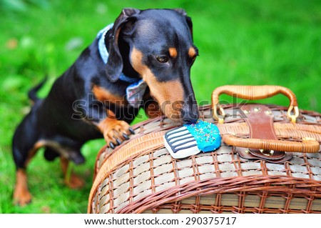 Black and tan miniature dachshund, dog wearing bow tie, having a treat, summer picnic on green grass outdoors, birthday party. - stock photo
