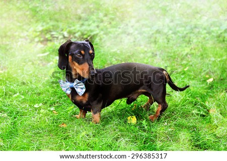 Black and tan miniature Dachshund, purebred dog in bow tie, outdoors, selective focus, toned image - stock photo
