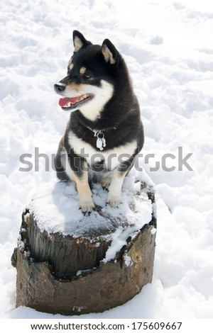 Black and Tan Shiba Inu Dog plating in the snow in yoyogi Park, Tokyo, Japan - stock photo