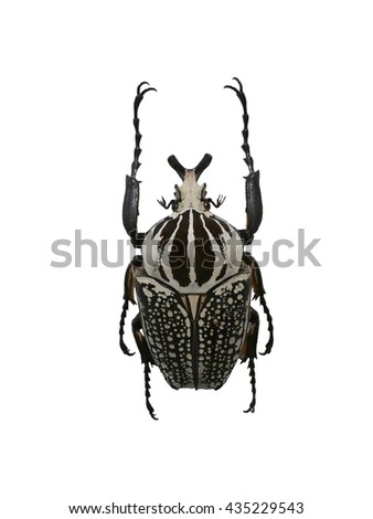 black and white beetle - stock photo