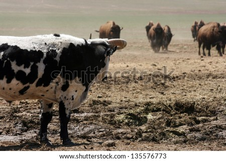 black and white bull with curled horns looking toward an oncoming herd, away from viewer - stock photo