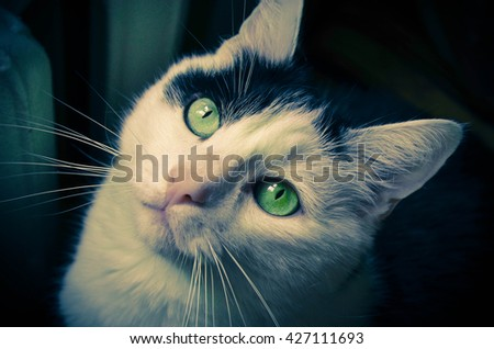 Black and white cat focus on eyes - stock photo