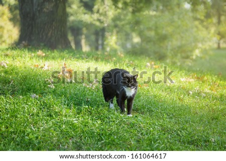 black and white cat in warning position, outdoor - stock photo