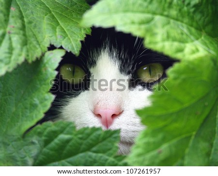 Black and White Cat peeking through the undergrowth. - stock photo