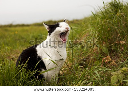 Black and white Cat yawning at meadow - stock photo
