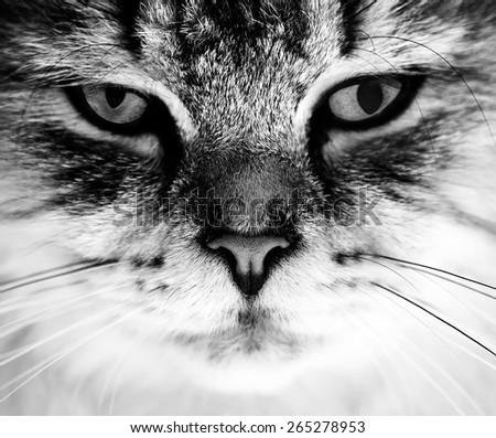 black and white close-up cat portrait - stock photo