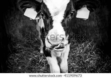 Black and white cow close up portrait in rural dairy farm, black and white image - stock photo