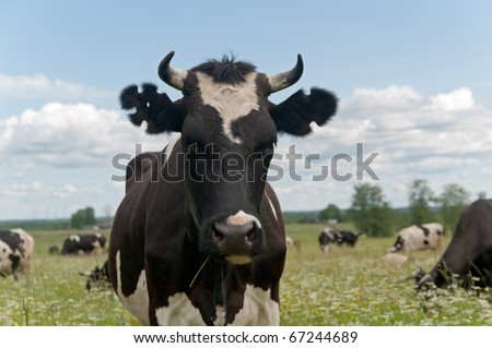 Black and white cow full face with figure cutout ear marks. - stock photo