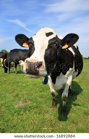Black and white cow in a field - stock photo