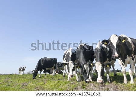 black and white cow in sunny dutch green meadow under blue sky on beautiful day in Holland with other cow in the background - stock photo