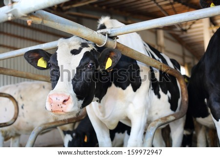 Black and white cow stands in big stall and looks into camera. - stock photo