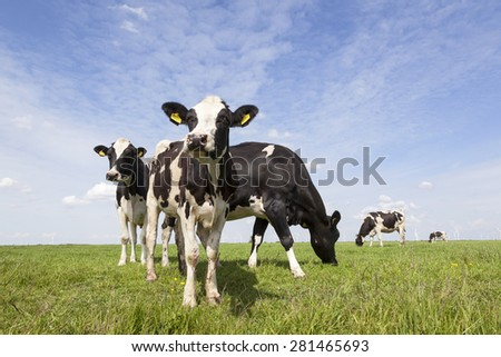 black and white cows graze in meadow in holland with blue sky - stock photo