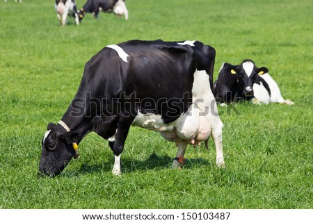 Black and white cows in a pasture. - stock photo