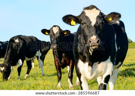 Black and white cows in grass field. Two cows look in to camera. One cow graze. - stock photo