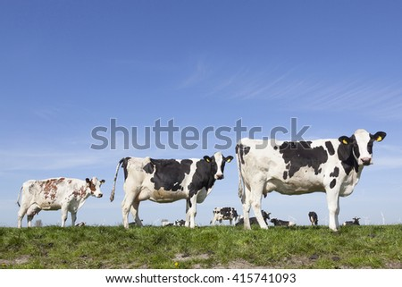 black and white cows stand and look in sunny dutch green meadow under blue sky on beautiful day in Holland - stock photo