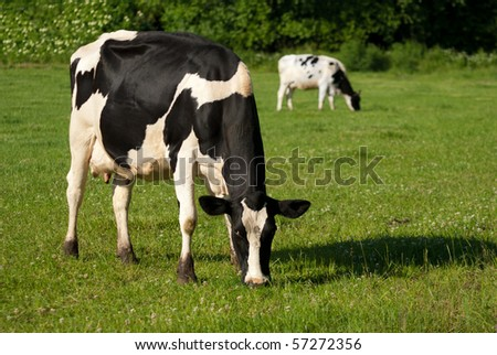 Black and white dairy cows grazing in lush green meadow - stock photo