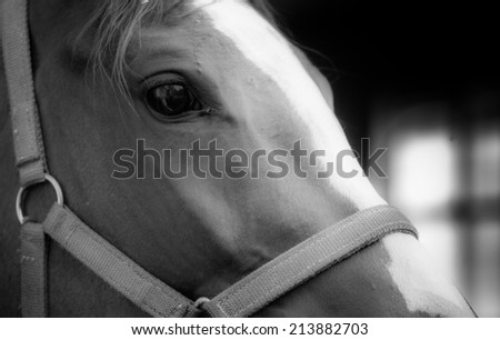 Black and white detail of  horse head with smooth skin and dark eye - stock photo