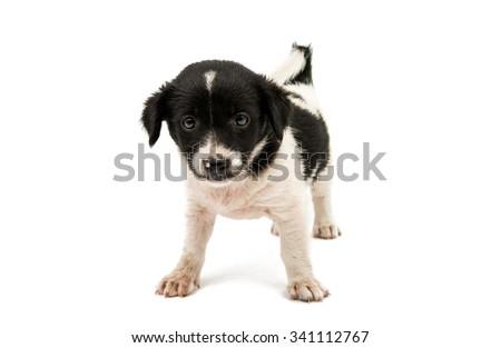 black and white dog on a white background - stock photo