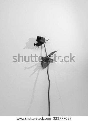 Black and White dried-out rose on white background - stock photo