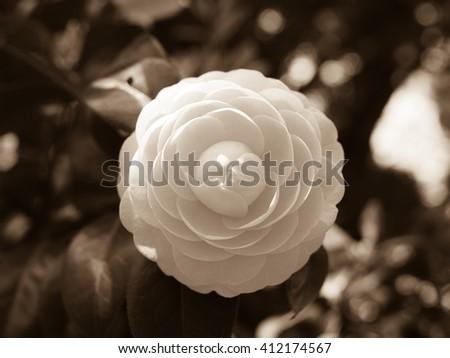 Black and white flower.Camellia flower. - stock photo