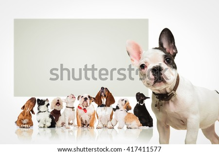 black and white french bulldog puppy  standing in front of a large group of dogs , all looking up at a big blank billboard - stock photo