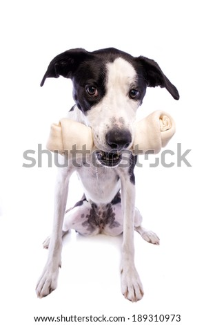 Black and white Great Dane mix dog with big bone in mouth isolated on white background - stock photo
