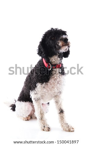 Black and white harlequin poodle isolated over white background - stock photo