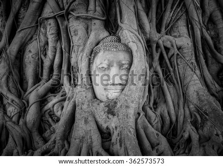 black and white Head of Buddha statue in the tree roots at Wat Mahathat, Ayutthaya, Thailand. - stock photo