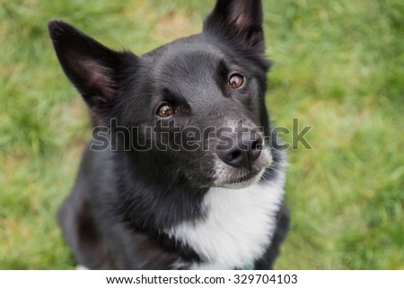 Black and white herding dog looking at the camera closeup - stock photo