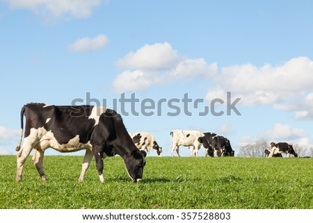 Black and white Holstein dairy cow grazing in a green pasture on the skyline against a blue sky and white clouds with copy space with the cattle herd in the background - stock photo