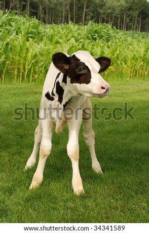 black and white holstein veal - stock photo