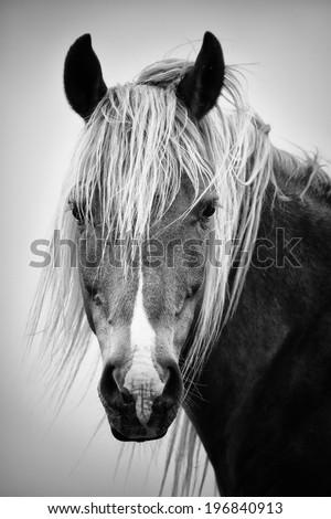 Black and white horse portrait  - stock photo