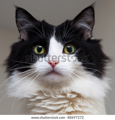 black and white house cat - stock photo