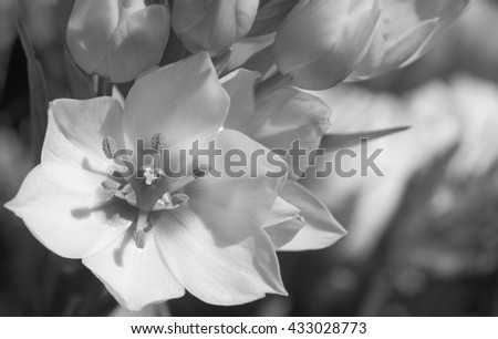 Black and white image of a blooming white flower - stock photo