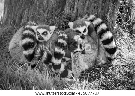 Black and white image of a group of sleeping Ring Tailed Lemurs. - stock photo