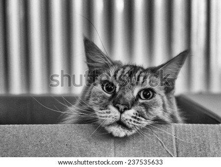 Black and White image of a Maine Coon cat in a cardboard box - stock photo