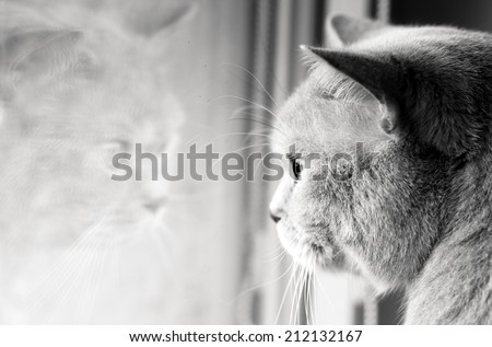 Black and white image of tomcat looking at his reflection in the glass - stock photo