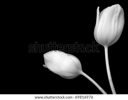 Black and White Image of White Tulips - stock photo