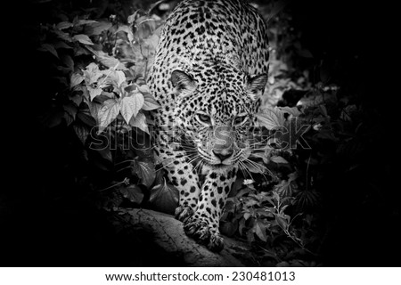 Black and white Jaguar walking in the forrest - stock photo