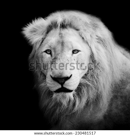 Black and White lion - stock photo