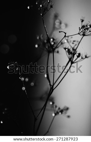 black and white low key macro nature details with morning drops  - stock photo