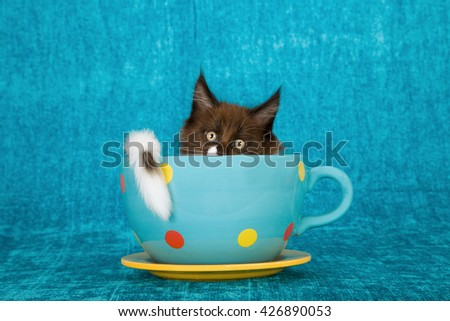Black and white Maine Coon kitten hiding away in extra large blue polka dot cup on blue background  - stock photo
